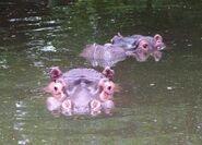 Hippopotamus-amphibius-capensis2