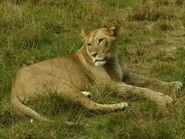 Panthera-leo-leo4