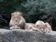 Panthera-leo-vernayi2