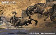 Blue-wildebeest (1)
