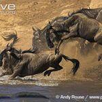 Blue-wildebeest (1).jpg