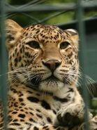 Panthera-pardus-fusca5