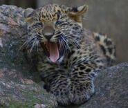 Panthera-pardus-japonensis2