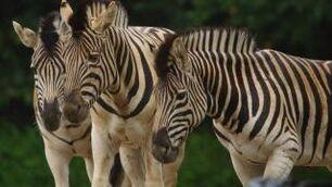 Equus-quagga-burchellii3