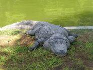 Alligator-mississippiensis2
