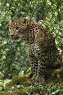 Panthera-pardus-kotiya4