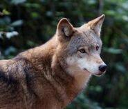Canis-lupus-chanco5