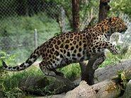 Panthera-pardus-orientalis6