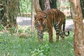 Bengal Tiger in Bangalore