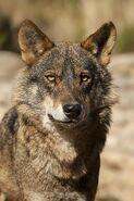 Canis-lupus-signatus1