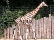 Giraffa-camelopardalis4