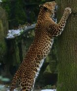 Panthera-pardus-kotiya1