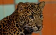 Panthera-pardus-melas2