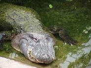 Alligator-mississippiensis4