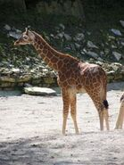 Giraffa-camelopardalis-reticulata5