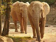 Loxodonta-africana-africana6