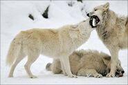 Canis-lupus5