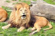 Panthera-leo-bleyenberghi1