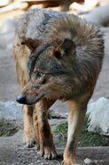 Canis-lupus-signatus2