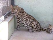 Panthera-pardus-pardus6