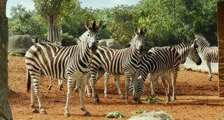 Plains-zebra-life-of-pi