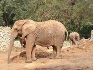 Loxodonta-africana-knochenhaueri4