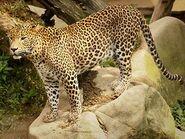 Panthera-pardus-kotiya7