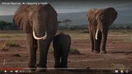 Amazing Animals African Bush Elephants