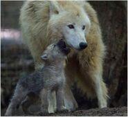 Canis-lupus3