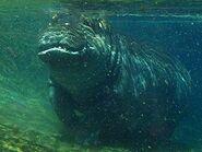 Hippopotamus-amphibius7
