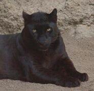 Panthera-pardus5