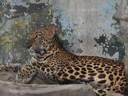 Panthera-pardus-delacouri2