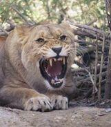 Panthera-leo-vernayi5