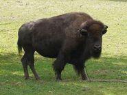 Bison-bison2