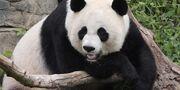 Panda (Animals).jpg