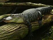 Alligator-mississippiensis6
