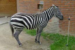 Equus-quagga-borensis4