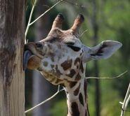 Giraffa-camelopardalis-rothschildi5