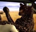 UTAUC Leopard