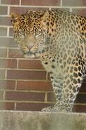 Panthera-pardus-melas1