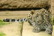 Panthera-pardus-saxicolor3