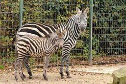 Equus-quagga-boehmi6