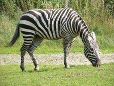 Equus-quagga-borensis7