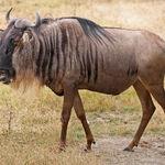 Wildebeest, blue.jpg