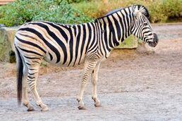 Equus-quagga-burchellii2