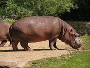 Hippopotamus-amphibius2