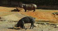 Hippopotamus-life-of-pi