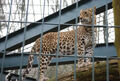 Panthera-pardus-fusca3