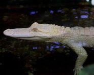 Alligator-mississippiensis5