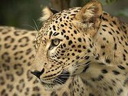 Panthera-pardus-saxicolor7